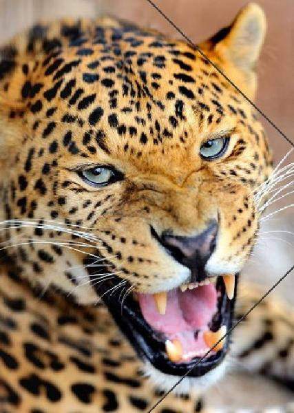 #3xZeichenmappe A3 PP Leopard